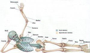 diagramed-skeleton